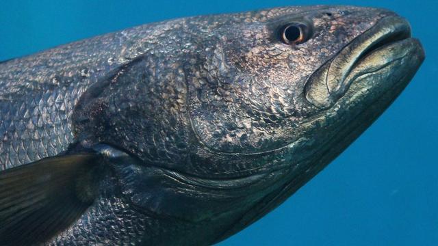 'Vissen krimpen bij nieuwe massa-uitsterving'