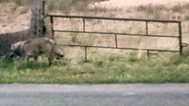 Wolf na 150 jaar terug in Nederland