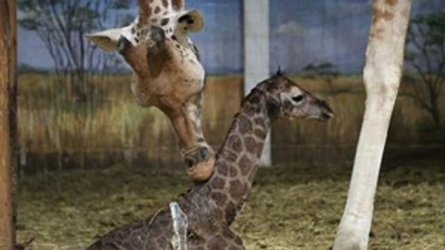 Giraf geboren voor camera's Belgische dierentuin