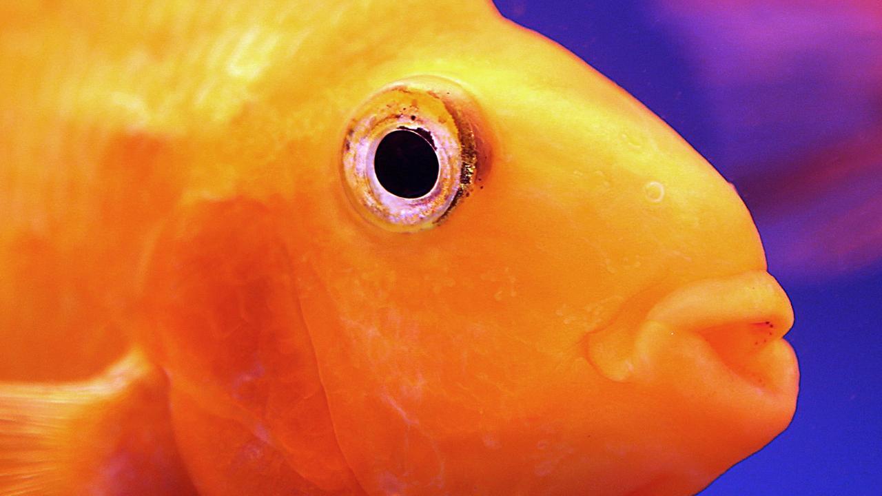 Heeft een goudvis een geheugen van drie seconden?