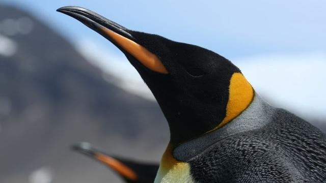 'Pinguïns bestaan waarschijnlijk langer dan tot nu toe werd aangenomen'