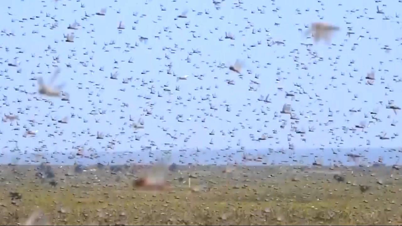 Ergste sprinkhanenplaag in decennia teistert deel Afrika