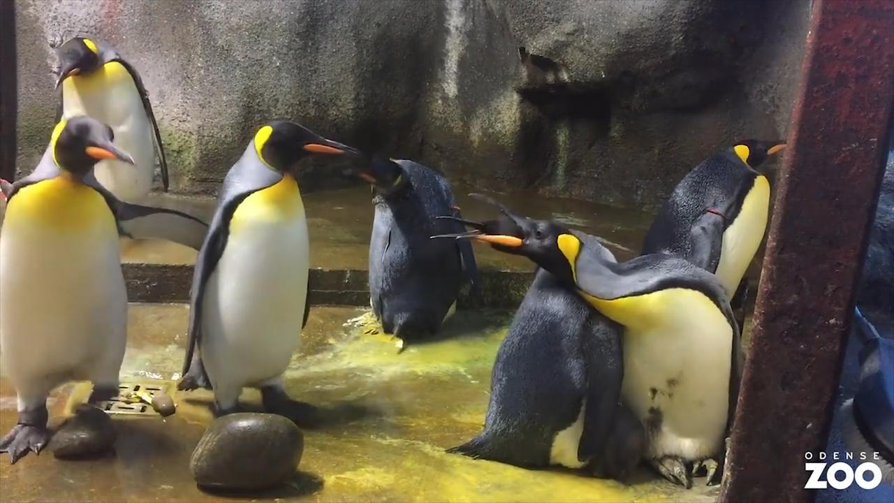 Homoseksueel pinguïnpaar kidnapt kuiken in Denemarken