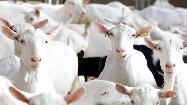 Australië stuurt wilde honden op te snel voortplantende geiten af