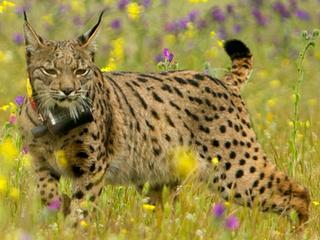 Man bood kop van Iberische lynx online aan voor vierhonderd euro