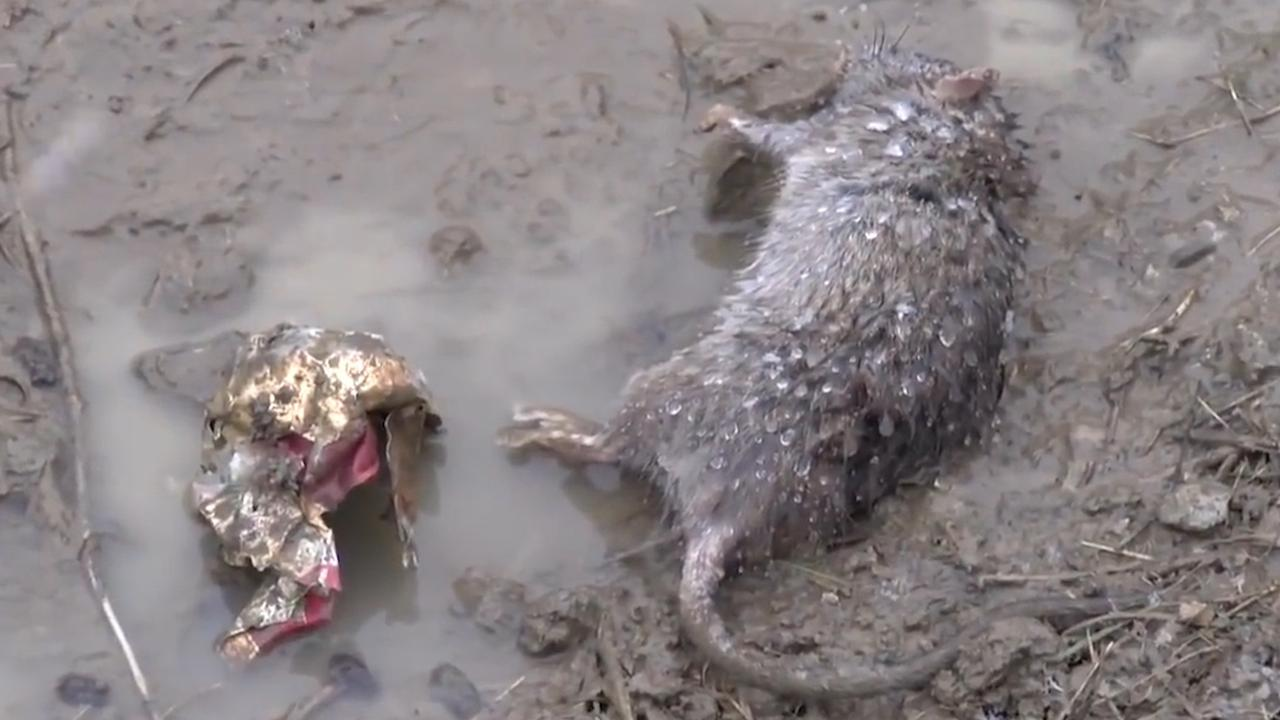 Italiaans dorp Gattolino overspoeld door 'gestoorde ratten'