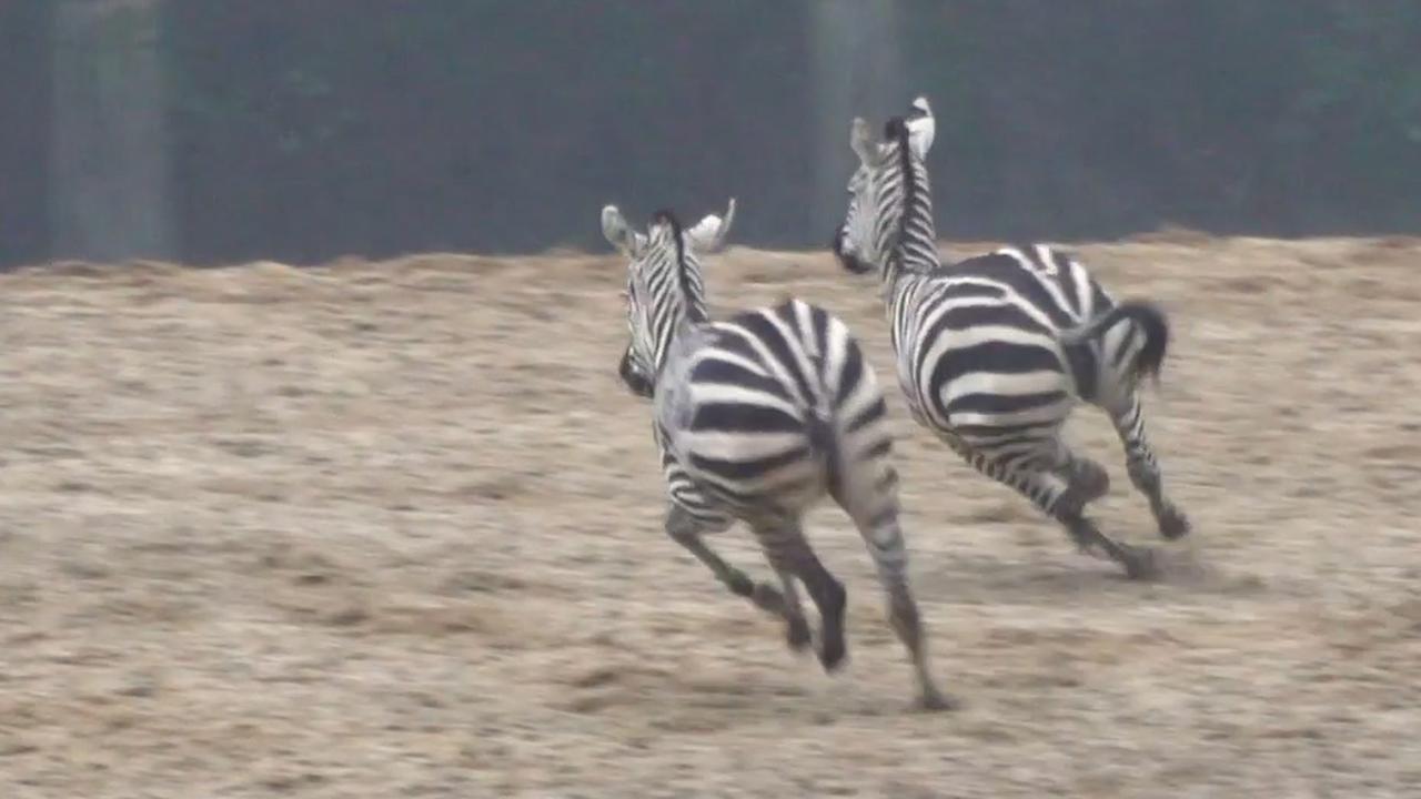 Afrikaanse hoefdieren Burgers' Zoo weer buiten na bodemvorst