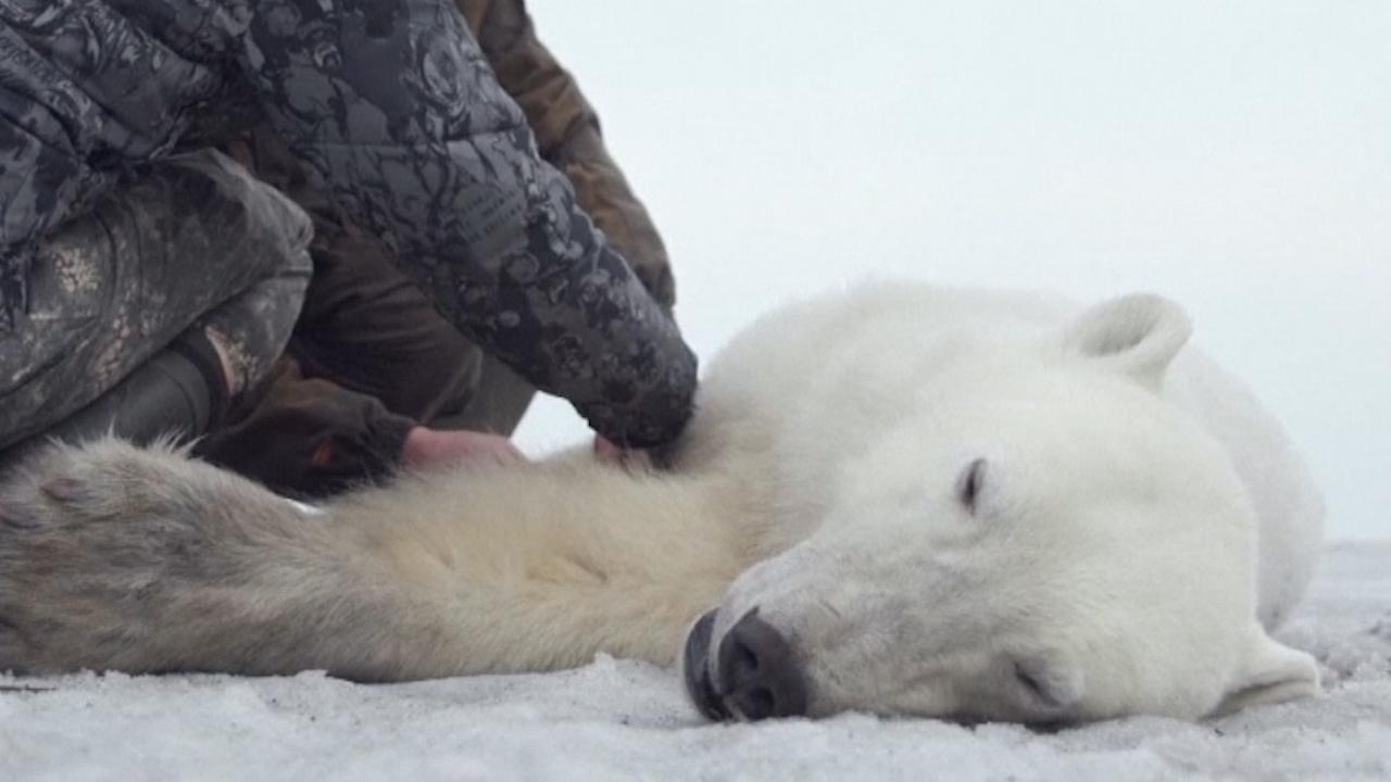 Uitgeputte ijsbeer uitgezet in natuurlijke habitat in Rusland