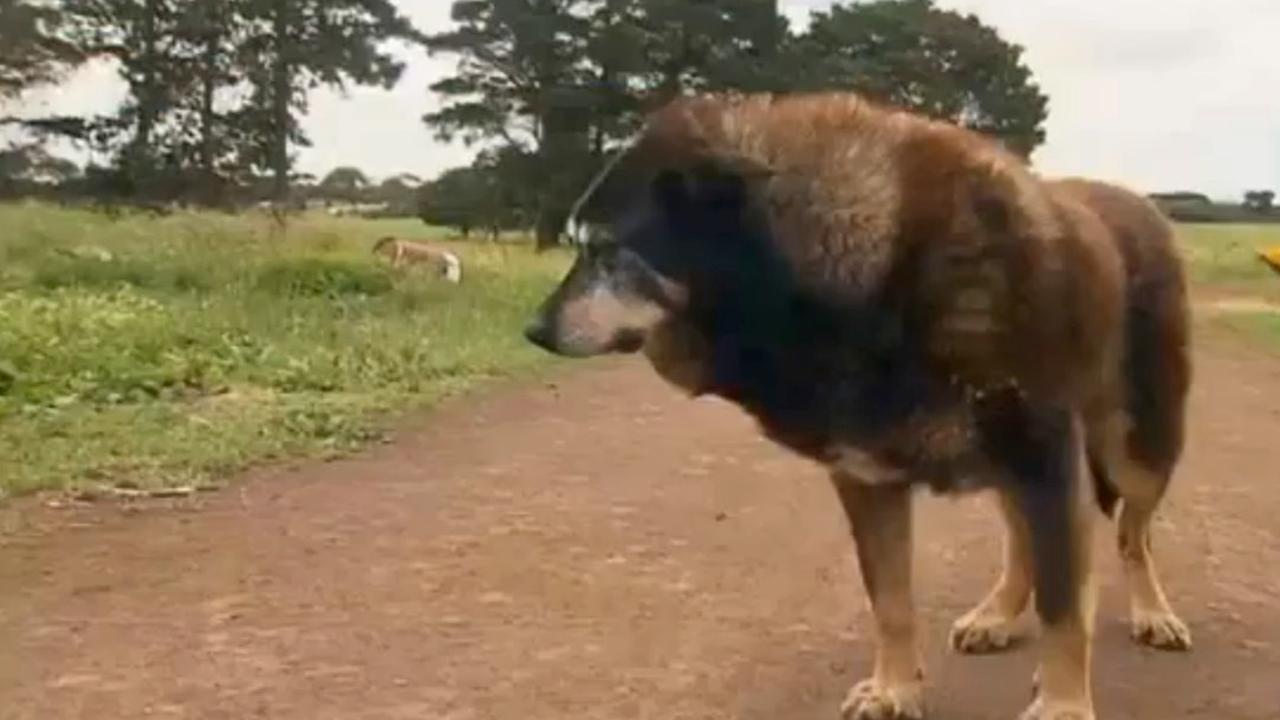 Oudste hond ter wereld (30) overleden