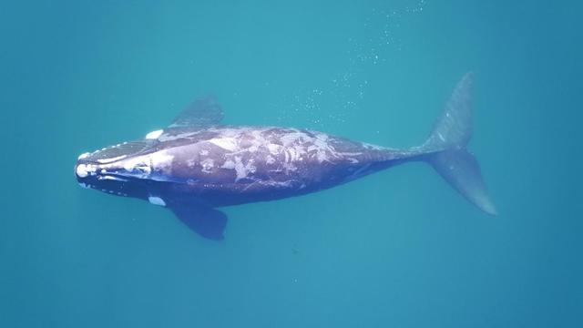 Onderzoekers wegen walvissen met behulp van drones