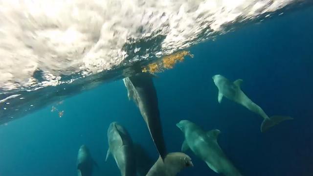 Boegcamera onderzoekschip filmt groep dolfijnen in Florida
