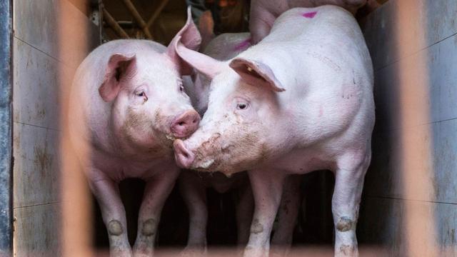 Nederland heeft 2,3 miljoen varkens meer dan officiële