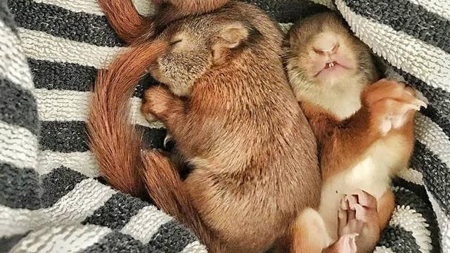 Drie pasgeboren eekhoorns uit boom gewaaid in Huizen door storm
