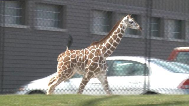 Giraffe ontsnapt uit Amerikaanse dierentuin