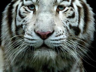 Man assisteerde bij opsluiting van tijgers in nachtverblijf