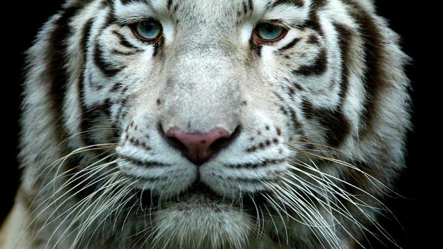 Witte tijgers doden verzorger van dierenpark India
