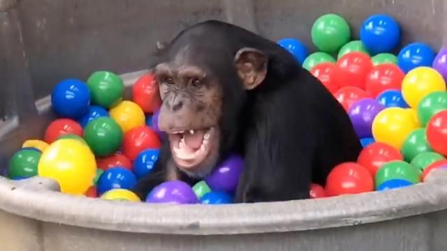Chimpansees spelen met veel plezier in ballenbak
