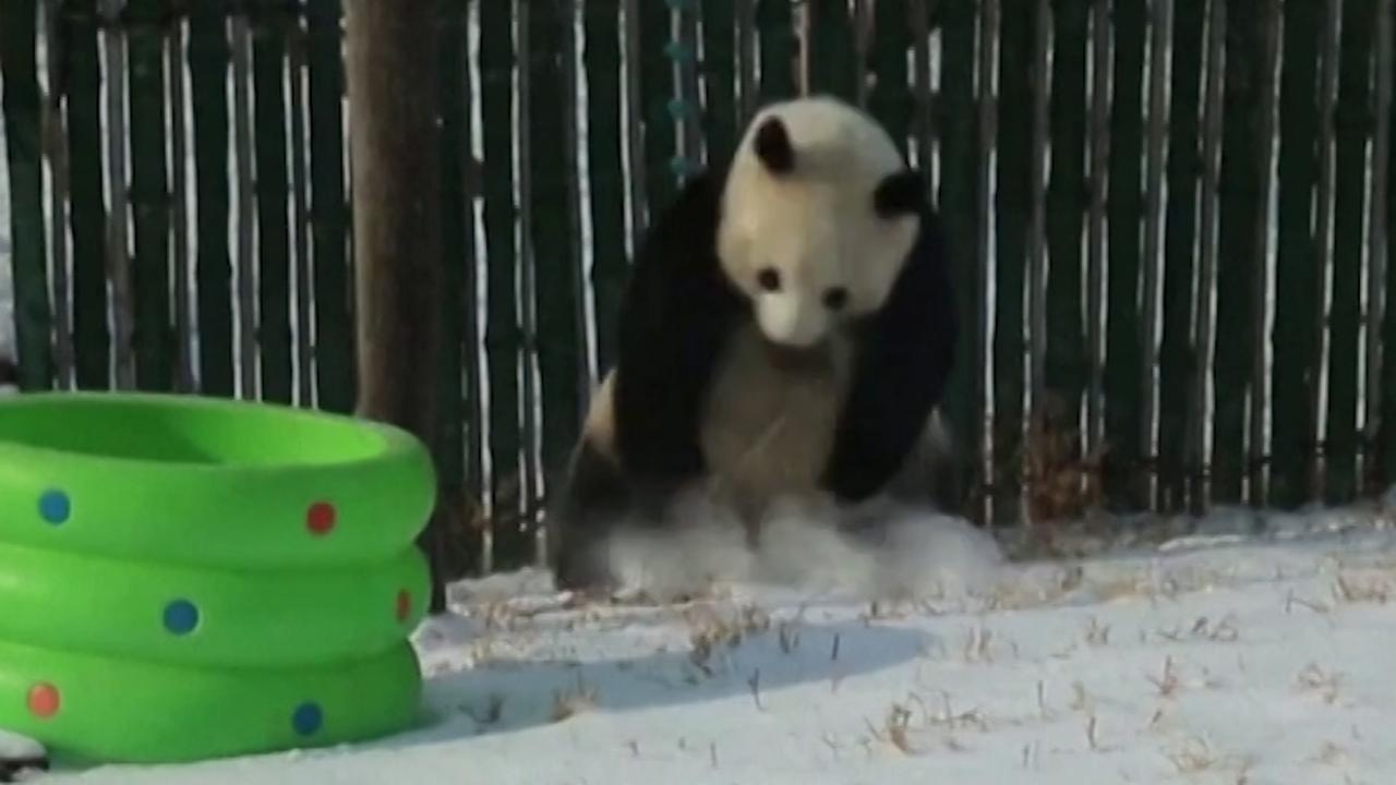 Dolblije panda speelt met versgevallen sneeuw in China