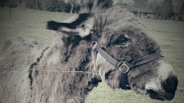Verwaarloosde ezel aangetroffen in Roosendaals weiland