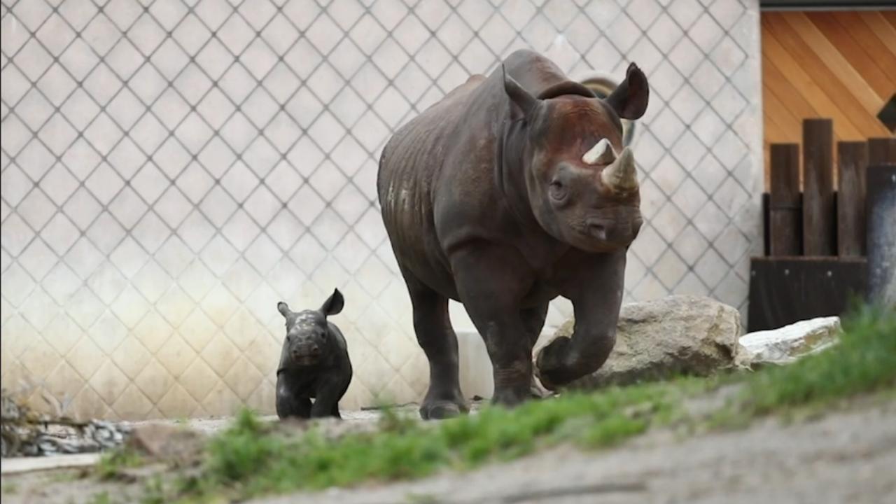 Zeldzame pasgeboren neushoorn voor het eerst buiten in Blijdorp