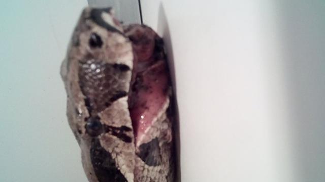 Ernstig gewonde boa constrictor gevonden in Amsterdamse container