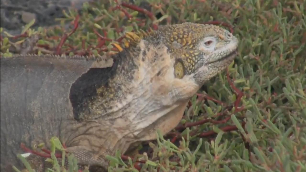 Leguaan conolophus subcristatus op Galapagos eiland