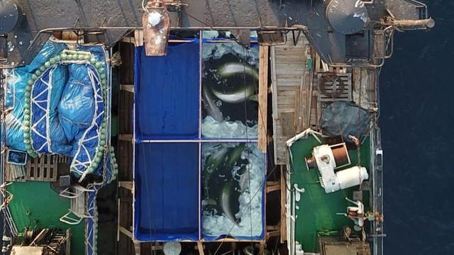 Rusland laat witte dolfijnen en orka's vrij