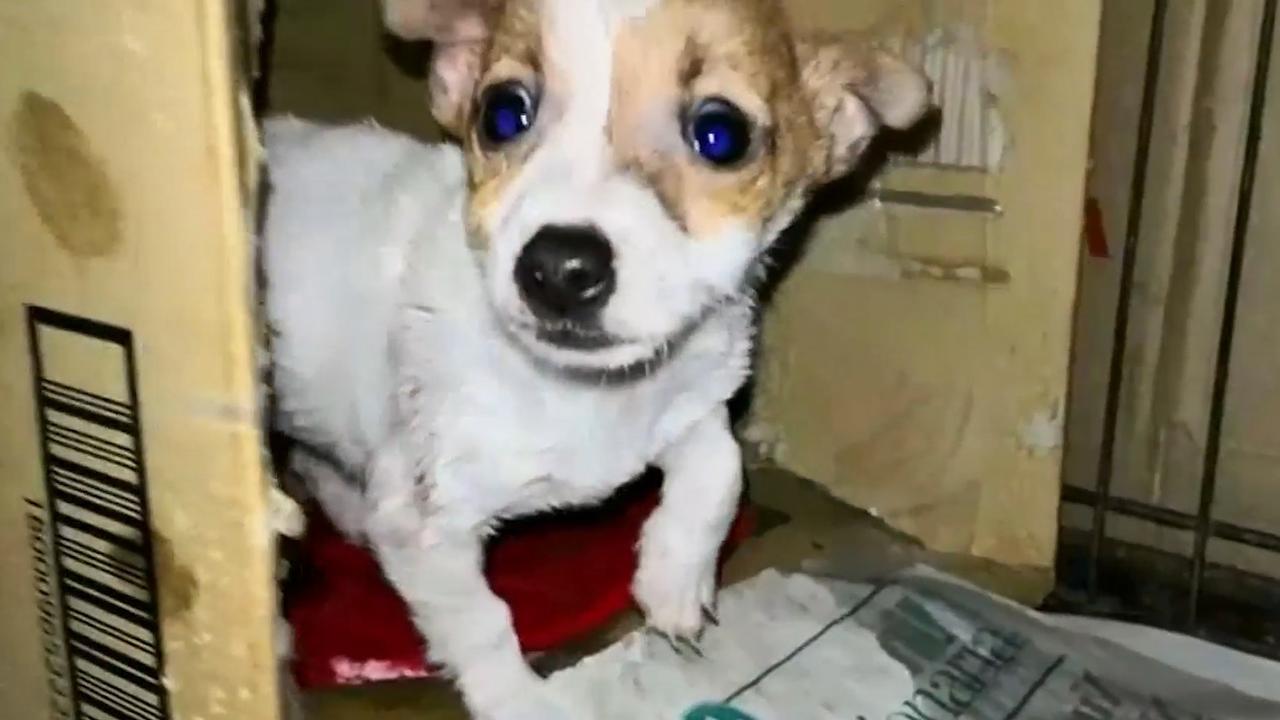 Italiaanse politie rolt illegaal netwerk van puppyhandelaren op