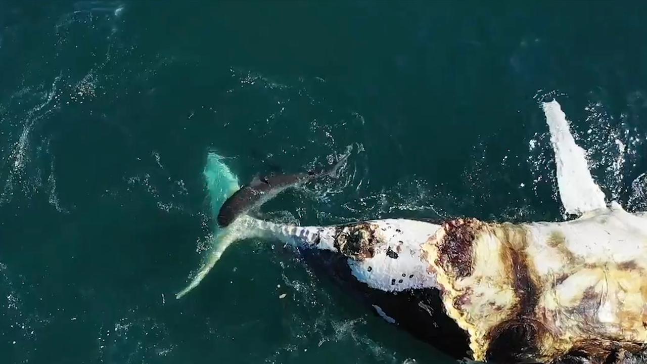 Tijgerhaaien doen zich tegoed aan walviskarkas bij Australische kust