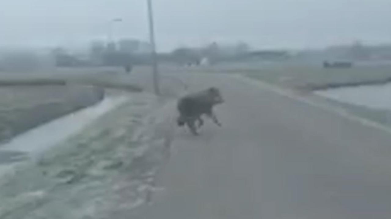 Wolf wordt bijna geraakt door vrachtwagen op A28