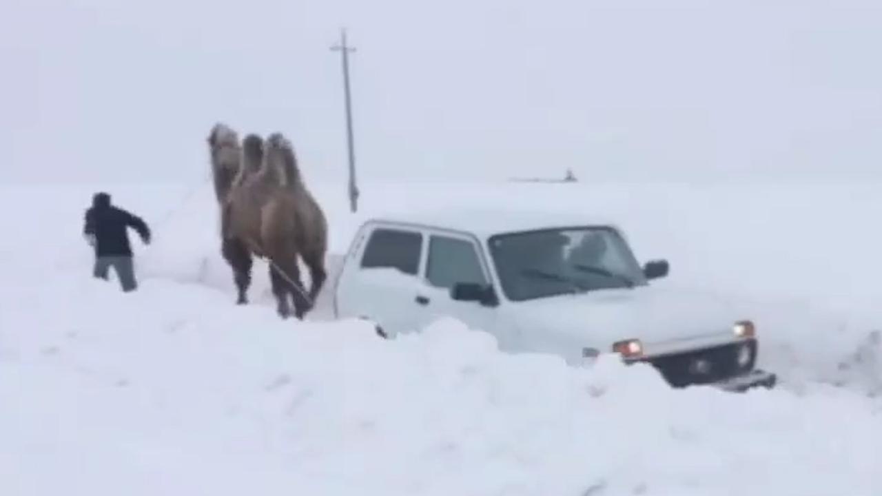 Kameel trekt Lada uit sneeuw in Rusland