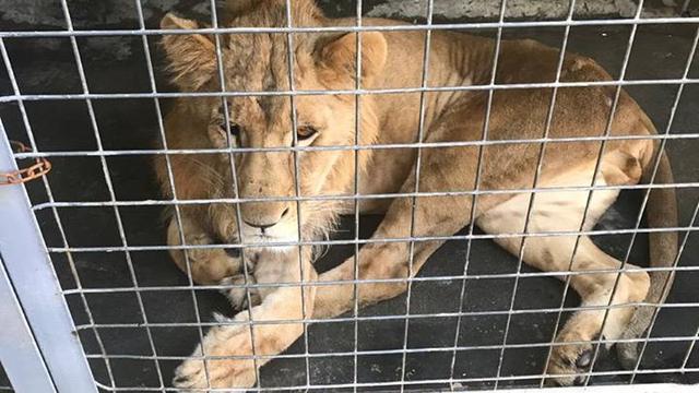 Opvang in Anna Paulowna haalt verwaarloosde leeuw uit Irak
