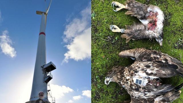De zeearend vloog tegen een windturbine in het Duitse Bremerhaven.