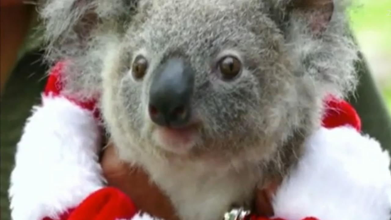 Koala Viert Eerste Verjaardag Met Kerst Nu Het Laatste Nieuws