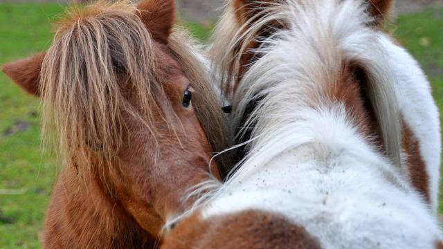 Recordaantal paarden op vlucht tussen Brussel en Midden-Oosten