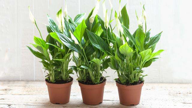 Omdat niet iedereen groene vingers heeft: kamerplanten die je wél levend houdt