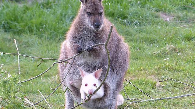 'Kangoeroes zijn bijna allemaal linkshandig'