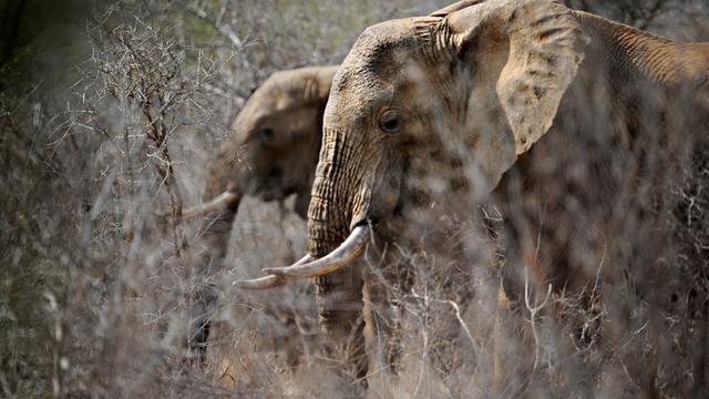 Aantal Afrikaanse olifanten tussen 2006 en 2015 20 procent gedaald