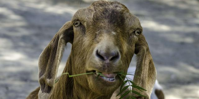 Indiase geit gearresteerd voor grazen op het gazon van rechter