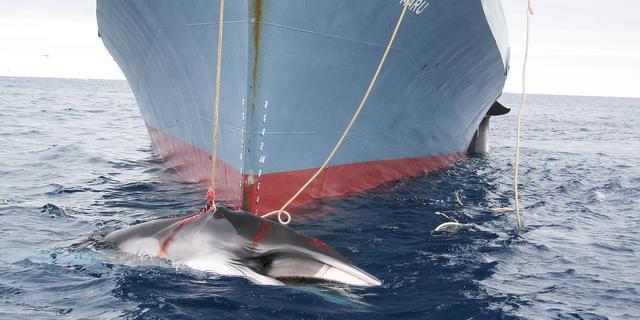 Japan hervat in maart walvisjacht rond Antarctica
