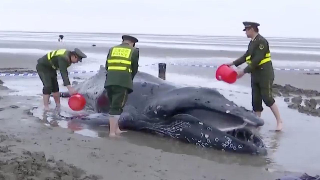 Aangespoelde bultrug na vijf uur gered van Chinees strand