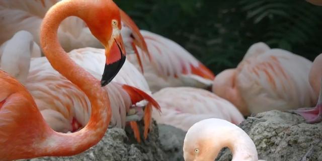 Eerste flamingo-ei van het jaar uitgekomen in Avifauna