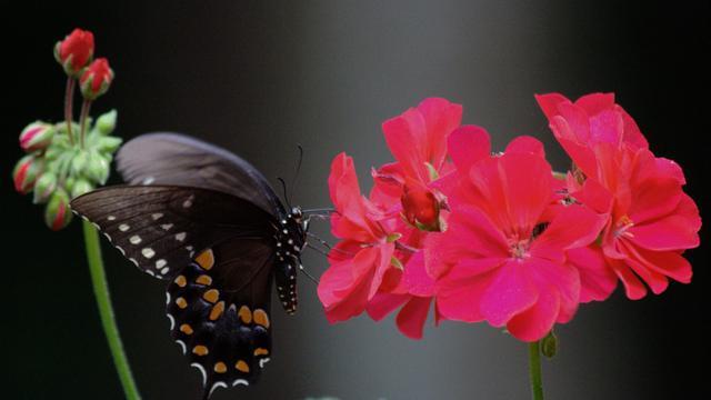 Fossielen tonen aan dat vlinders en motten ouder zijn dan bloeiende planten