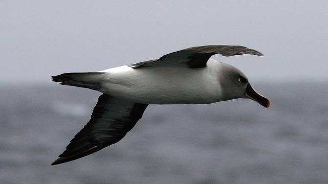 Albatrossen vliegen efficiënter door kleur van vleugels