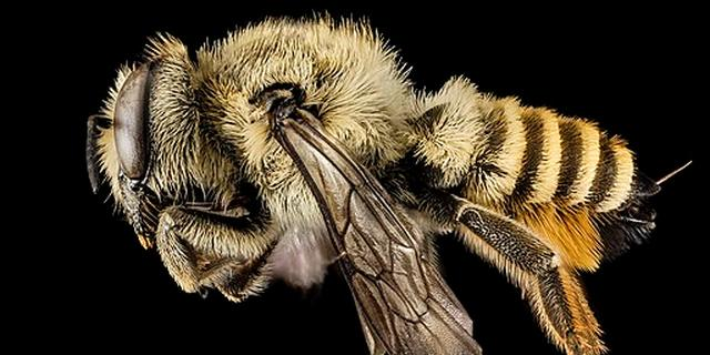 Nog niet eerder in Nederland waargenomen bijensoort ontdekt in Haarlem