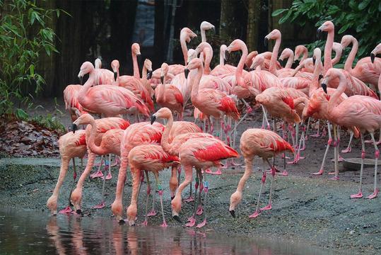 Flamingo's uit Engeland verhuisd naar DierenPark Amersfoort