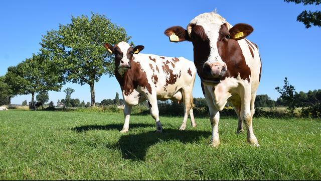 Boeren krijgen geen collectieve compensatie voor melkveeheffingen