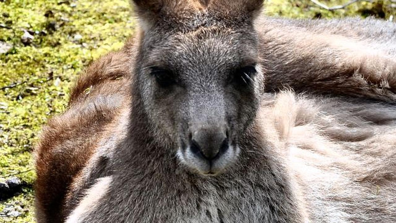 Man slaat kangoeroe