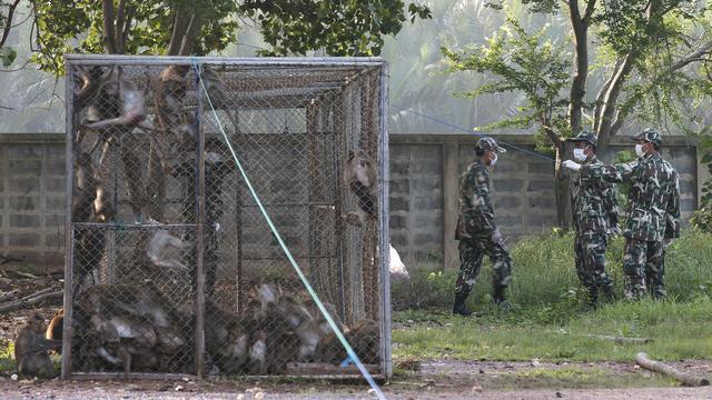 Aapjes die inwoners Thais dorp lastigvallen uitgezet