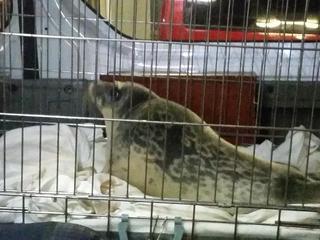 De zeehond werd in de Utrechtse Oudegracht gevonden